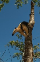 Collared-anteater-climbing-down-tree (2).jpg